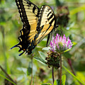 Tiger Swallowtail Butterfly by Jan M Holden