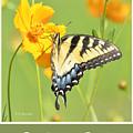 Tiger Swallowtail Butterfly On Cosmos Flower by A Gurmankin