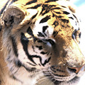 Tiger by Wendy Fox