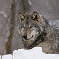 Timber Wolf In Winter by Michael Cummings