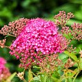 Tiny Pink Spirea Flowers by Cynthia Woods