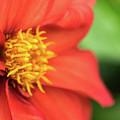 Tithonia Rotundifolia, Red Flower by Wael Alreweie