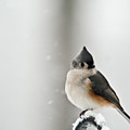 Titmouse In The Snow by Douglas Barnett