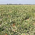 Tomato Field, California by Inga Spence