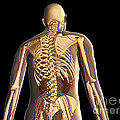Transparent View Of Human Body Showing by Stocktrek Images