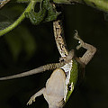 Tree Snake Eating Gecko by Andrew Routh
