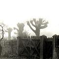 Trees In The Fog by Nancy Mueller