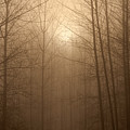 Trees Silhouetted In Fog by Jim Corwin