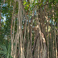 Trees With Aerial Roots At The Coba Ruins  by Carol Ailles
