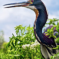 Tri-colored Heron by Christopher Holmes