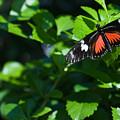 Tropical Butterfly by Douglas Barnett