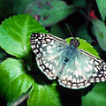 Tropical Checkered Skipper by Thomas R Fletcher