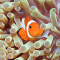 Tropical fish Clownfish by MotHaiBaPhoto Prints