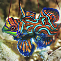 Tropical Fish Mandarinfish by MotHaiBaPhoto Prints