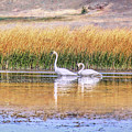 Tranquil Trumpeter Swans by Jennie Marie Schell