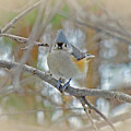 Tufted Titmouse - Baeolophus Bicolor by Mother Nature