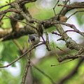 Tufted Titmouse by Michael Munster