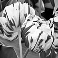 Tulip 11 by Ingrid Smith-Johnsen