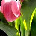 Tulip 2 by Kume Bryant