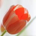 Tulip by Alex Simon