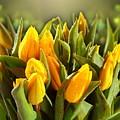 Tulip by Bert Mailer
