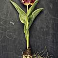 Tulip by Nailia Schwarz