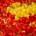 Tulips At Ottawa Tulips Festival by Aqnus Febriyant