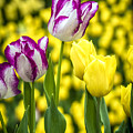 Tulips Garden by Jijo George