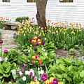 Tulips In The Garden by Terri Morris