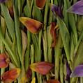 Tulips Wilting by Jim Corwin