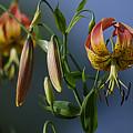 Turk's Cap Lily by Randy Bodkins