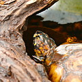 Turtle by Shirley Sykes Bracken