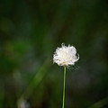 Tussock Cottongrass by Jouko Lehto