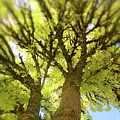 Twin Trees by Bonnie Bruno