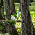 Two Baby Great Egrets And Nest by Rich Leighton