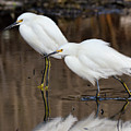Two Snowy Egrets by Bruce Frye