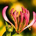 Upclose Look At Honeysuckle-lonicera by Char Doonan