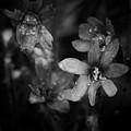 Vanishing Beayty Of Hepatica by Jouko Lehto