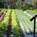 Vegetable Garden  by Oren Shalev
