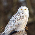 Vermont Snowy Owl by John Vose