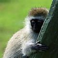 Vervet Monkey by Aidan Moran
