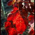 Vine Leaf At Fall by Arik Baltinester