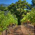 Vineyard Sauvignon Blanc Grapes by David Zanzinger