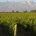Vineyards In The Mendoza Valley by Michael S. Lewis