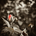 Vintage Rose by Amber Flowers