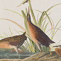 Virginia Rail by John James Audubon