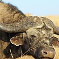 Water Buffalo by Anthony W Weir