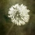 Water Drops On Dandelion Flower by Scott Norris