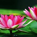 Water Lilies by Jim  Darnall
