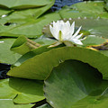 Water Lily by Ruth Housley